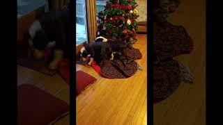 Olde English Bulldogge Puppies Videos