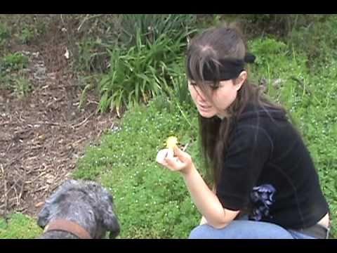 Video Dandelions : Edible and Medicinal Uses