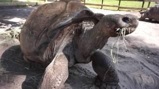 101yr Old Giant Galapagos Tortoise!