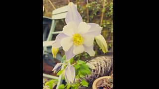 Magical Plants: Columbine/Aquilegia