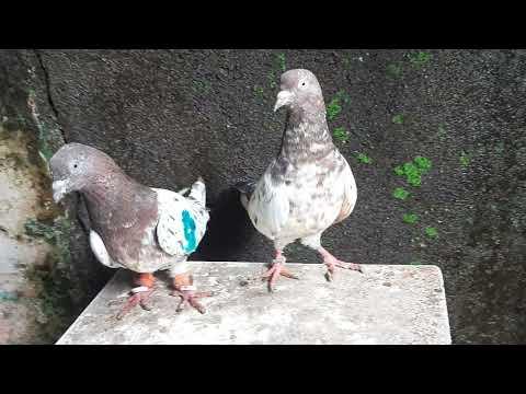, title : 'Lal Ambarsare Kabootar High Flyers Pigeons Sarfu Bhai 7506902585 (Andheri West).