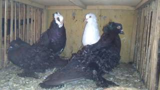 Top Quality Flying Pigeons 03459442750 Zain Ali Farming