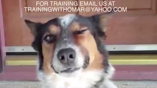 Самый умный пес в мире. Он умеет почти всё