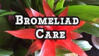 Bromeliad Care: Growing Guzmania Bromeliads Indoors in Beautiful Displays