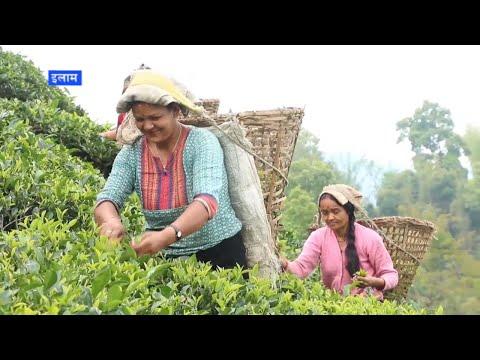 बिदेशी मुद्रा भित्राउने चिया खेती विस्तार सुस्त, सुहुलियत कर्जा बन्द गर्नु मुख्य कारण