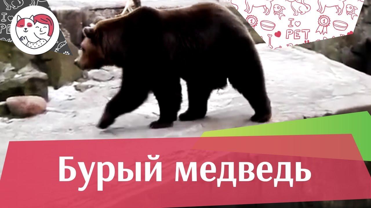 Бурый медведь Рацион на ilikepet