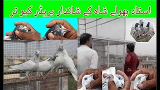 Beautiful Pigeons Of Ustad Bholy Shah  Lhr