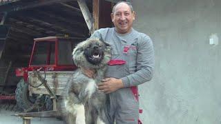 Sarplaninac FCI 4302 - Playing with Dogs