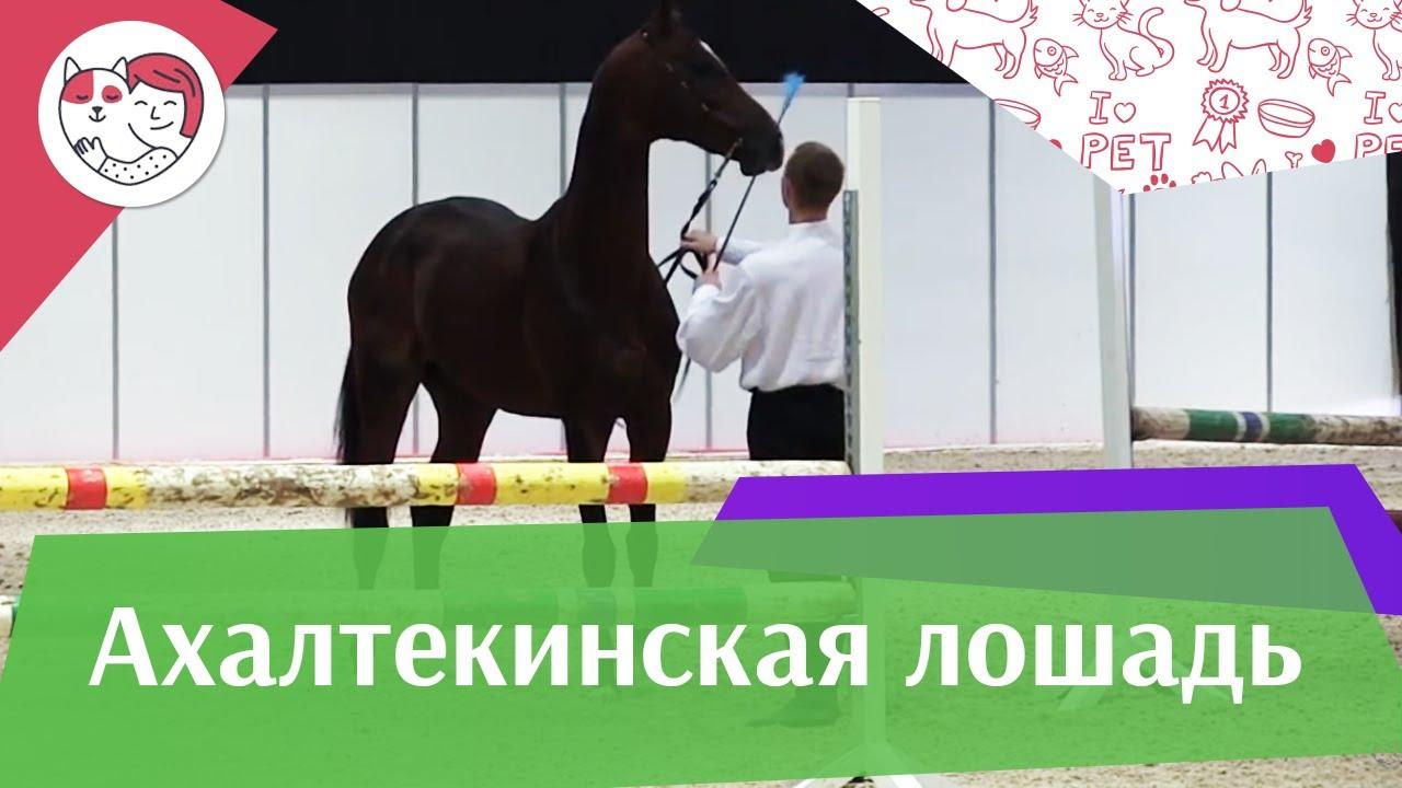 ЛОШАДИ Ахалтекинская порода ЭКВИРОС 2016 на ilikepet