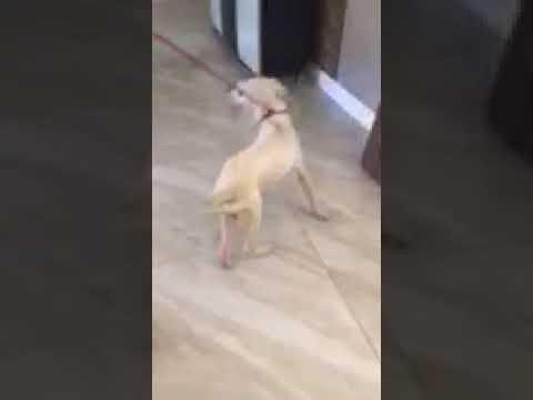 Casper, an adopted Dogo Argentino in Miami, FL