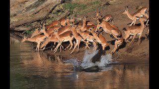 Crocodile Hunts Impala 3rd Time Lucky! Not Easy To See These Reptiles Catch A Meal But We Did!!