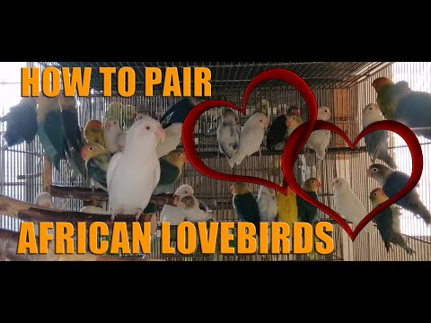 HOW TO PAIR AFRICAN LOVEBIRDS / DIFFERENT WAYS OF PAIRING AFRICAN LOVEBIRDS