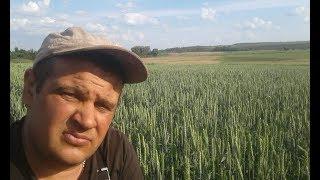 пшеница без дождей