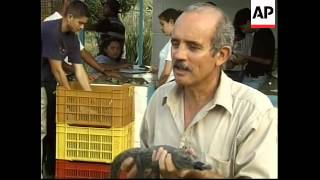 VENEZUELA: CAYMAN CROCODILES RELEASED INTO WILD