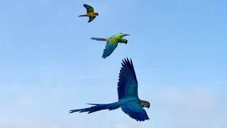 Macaws and Conures | FreeFlight on a misty day.