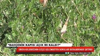 Konya'da diken kelebeğinin göçü ile ilgili gülümseten sorular