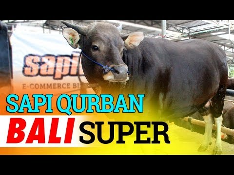 Promo Sapi Qurban Harga Mulai 15 Jt an