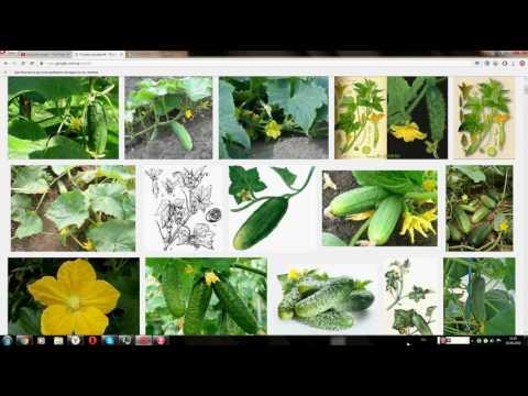 Огурец посевной (Cucumber planting)