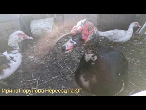 Чем кормить кур и уток, витамины для кур, какие яйца несут куры Хайсекс
