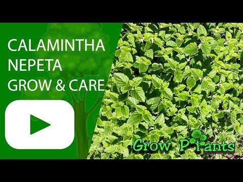, title : 'Calamintha nepeta - grow, care & harvesting (Lesser calamint)