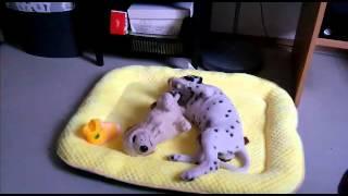 Dalmatin dog