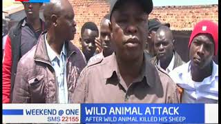 Moi's Bridge farmer counting losses after a wild animal killed his livestock