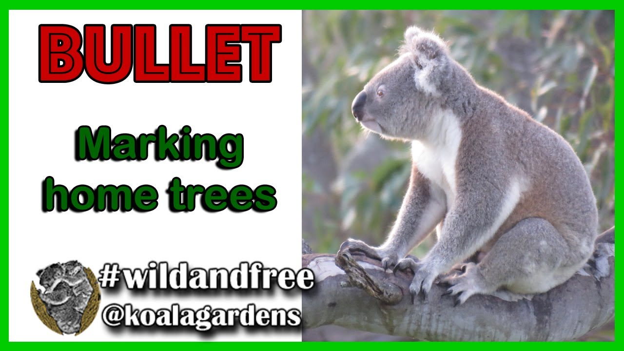 Bullet showing how males mark trees