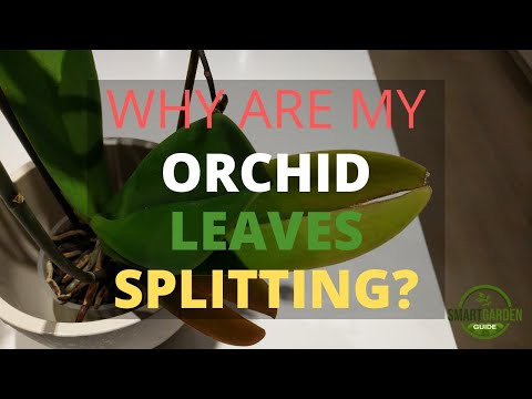 , title : 'Why Are My Orchid Leaves Splitting? (And How To Prevent It)