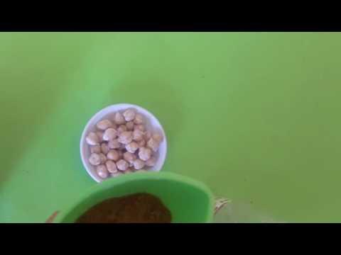 Condyloma acuminata nhg