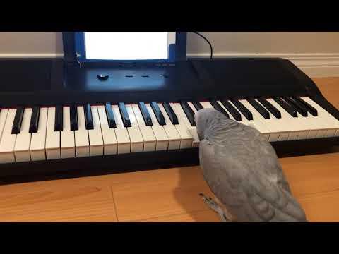 התוכי הזה מנגן על פסנתר יותר טוב ממני!