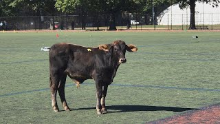 Bull on the Run in NYC Caused Baby to Get Sent to the Hospital