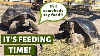 Aldabra & Galapagos Tortoise Feeding Time