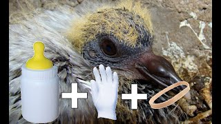How to bottle feed a orphan baby pigeon