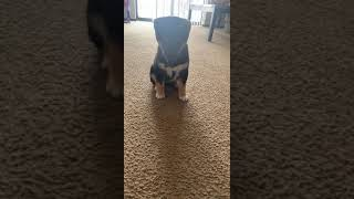 Shiba Inu Puppies Videos