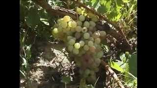 Prospects of viticulture development - виноградарство
