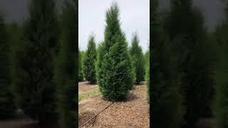 Florida Red Cedar 10-12′