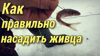 Как правильно насадить живца на жерлицу для зимней рыбалки