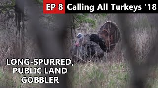 Giant Spurs!!! - More Public Land Gobblers - Calling All Turkeys