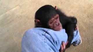 Download Youtube: Baby Chimps,Monkey,Baby chimpanzee,pet chimp,婴儿黑猩猩,chimpanzé bébé,Детские шимпанзе,chimpancé bebé