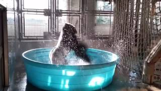 "LOL: Gorilla Dancing To ""She's A Maniac"" In A Mini Pool"