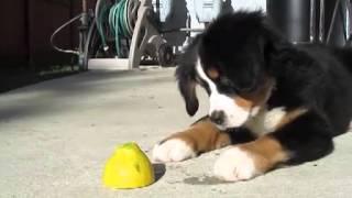Junge Berner Sennenhunde sind neugierig und spielfreudig, wie dieses Video anschaulich zeigt. (Ist k