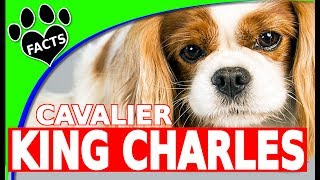Cavalier King Charles Spaniel Dogs 101 - Cool Fun Facts
