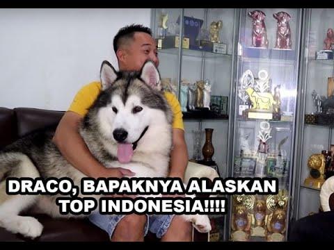 Draco, Bapaknya Anjing-Anjing Alaskan Malamute Terkenal Di Indonesia !!!