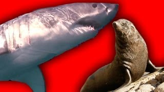 Great White Shark - Hunting Fur Seal