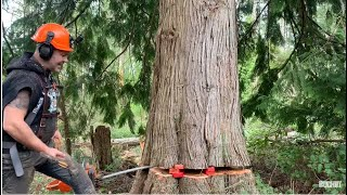worst trees on this tree cutting job ,, 3 wedges stacked