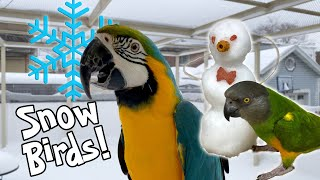Parrots Play with Frosty the SnowBird!