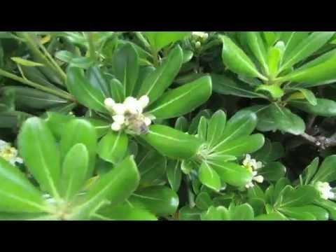 Питтоспорум обыкновенный.Тобира.Pittosporum.Пчёлки на цветочках!!!Кирьят-Ям.Израиль.