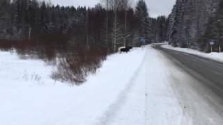 Лось переходит дорогу правильно ☝🏼