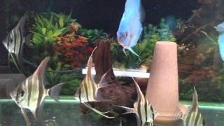 ディスカスとアルタムの混泳水槽