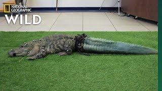 Mr. Stubbs the Tailless Alligator Isn't Stubby Anymore   Nat Geo Wild